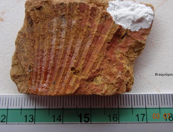braquiopodo (2)-crop-u20518