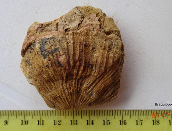 braquiopodo atrypa (2)-crop-u20914
