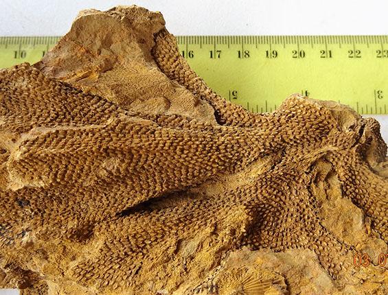 briozoa fenestella (3)-crop-u22982
