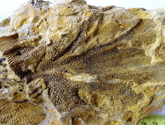 briozoa fenestella (4)-crop-u23002