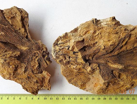 briozoa fenestella fosil-huella-crop-u23142