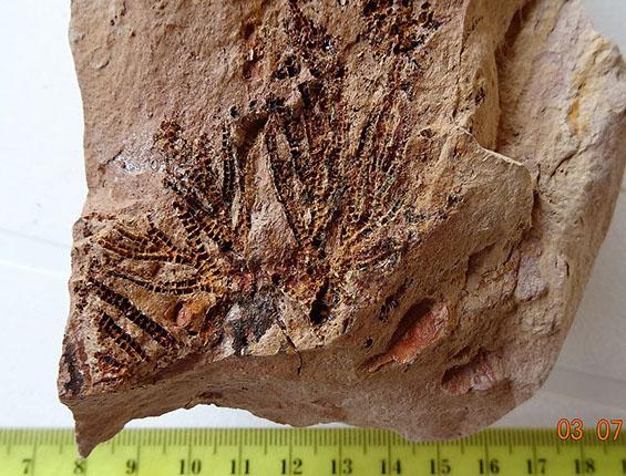 crinoideo (caliz de lirio de mar) (2)-crop-u23354