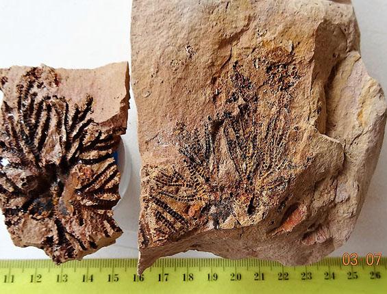 crinoideo- caliz de lirio de mar fosil-huella-crop-u23434